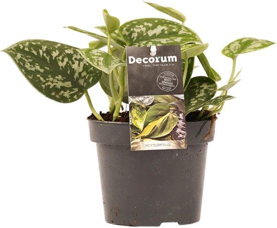Epipremnum Scindapsus Pictus/Trebie