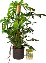 Pokon® Monstera / Gatenplant incl. watermeter en voeding - in Mica Era Pot Donker Grijs - hoogte ↕120 cm