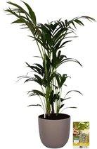 Pokon® Kentia Palm incl. watermeter en voeding - in Mica Tusca Pot Taupe - hoogte ↕125 cm