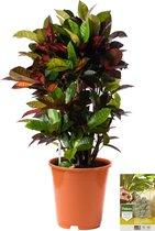 Pokon® Croton Mrs Iceton incl. watermeter en voeding - hoogte ↕100 cm