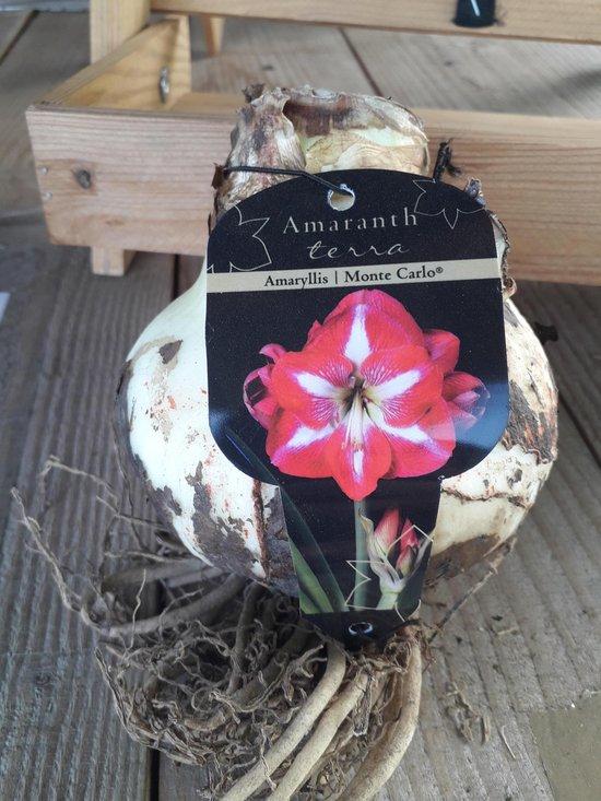 Amaryllisbol Rood/Wit (GESTREEPT)