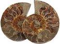 Ammonieten gepolijst A Madagaskar (0.50) - bruin