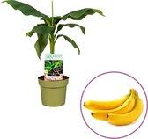 Bananenplant Musa Basjoo - hoogte 60-70cm - winterhard