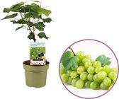 Druivenplant (wit), Vitis vinifera 'Himrod' op stam, pitloos, zelfbestuivend, winterhard