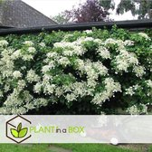 Plant in a Box – Set van 3 Hydrangea 'Petiolaris' - Klimhortensia - Pot ⌀ 9cm - Hoogte ↕ 25-40cm