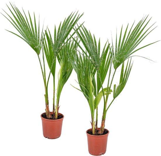 Washingtonia 'Robusta' - Mexicaanse Waaierpalm per 2 stuks | Kamerplant ⌀14 cm - ↕50-60 cm