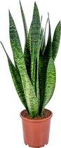 Sansevieria XL 'Zeylanica' per stuk   Vrouwentong - Kamerplant in kwekerspot ⌀17 cm - ↕65 cm - Groen