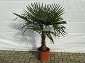 Winterharde palmboom, Trachycarpus Fortunei 130/150cm