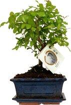 ZynesFlora - Bonsai in Keramiek - Kamerplant in pot - Ø 15 cm - ↕ Hoogte: 25-30 cm – Bonsai - Blauw/Wit - Kamerplant - Black Friday - Kerst - Sinterklaas
