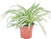 Chlorophytum 'Atlantic' - Graslelie - ↑ 25-35cm - Ø 12cm