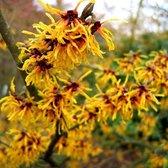 Hamamelis Intermedia 'Orange Beauty' - Toverhazelaar 40-60 cm pot