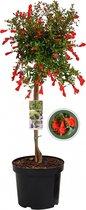 Granaatappel op stam - Punica Granatum Nana - 85 cm
