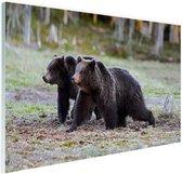 Twee beren in het moerras Glas 180x120 cm - Foto print op Glas (Plexiglas wanddecoratie) XXL / Groot formaat!