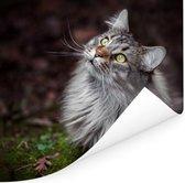 Een grijze Maine Coon kat Poster 50x50 cm - Foto print op Poster (wanddecoratie woonkamer / slaapkamer) / Huisdieren Poster
