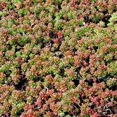 6 x Sedum Album 'Coral Carpet' - Vetkruid pot 9x9cm