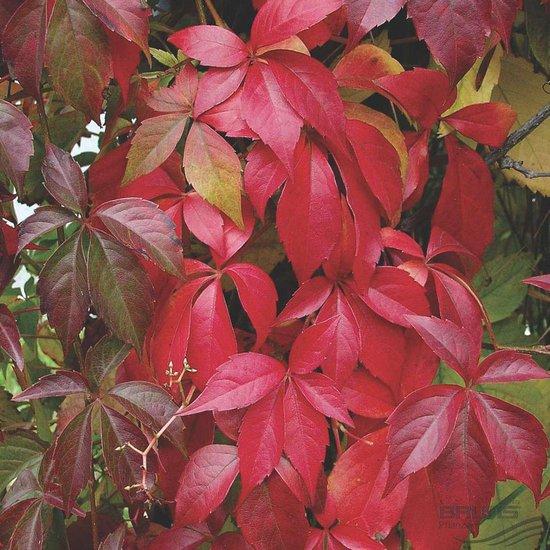 Parthenocissus Quinquefolia - Wilde wingerd 50-60 cm pot