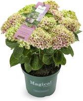 Tuinhortensia Magical Amethyst roze