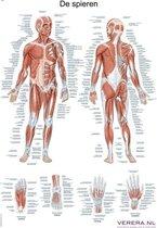Het menselijk lichaam - anatomie poster spieren (Nederlands/Latijn, papier, 50x70 cm) + ophangsysteem