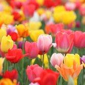 KH Bloembollen - 25 Tulpenbollen mix