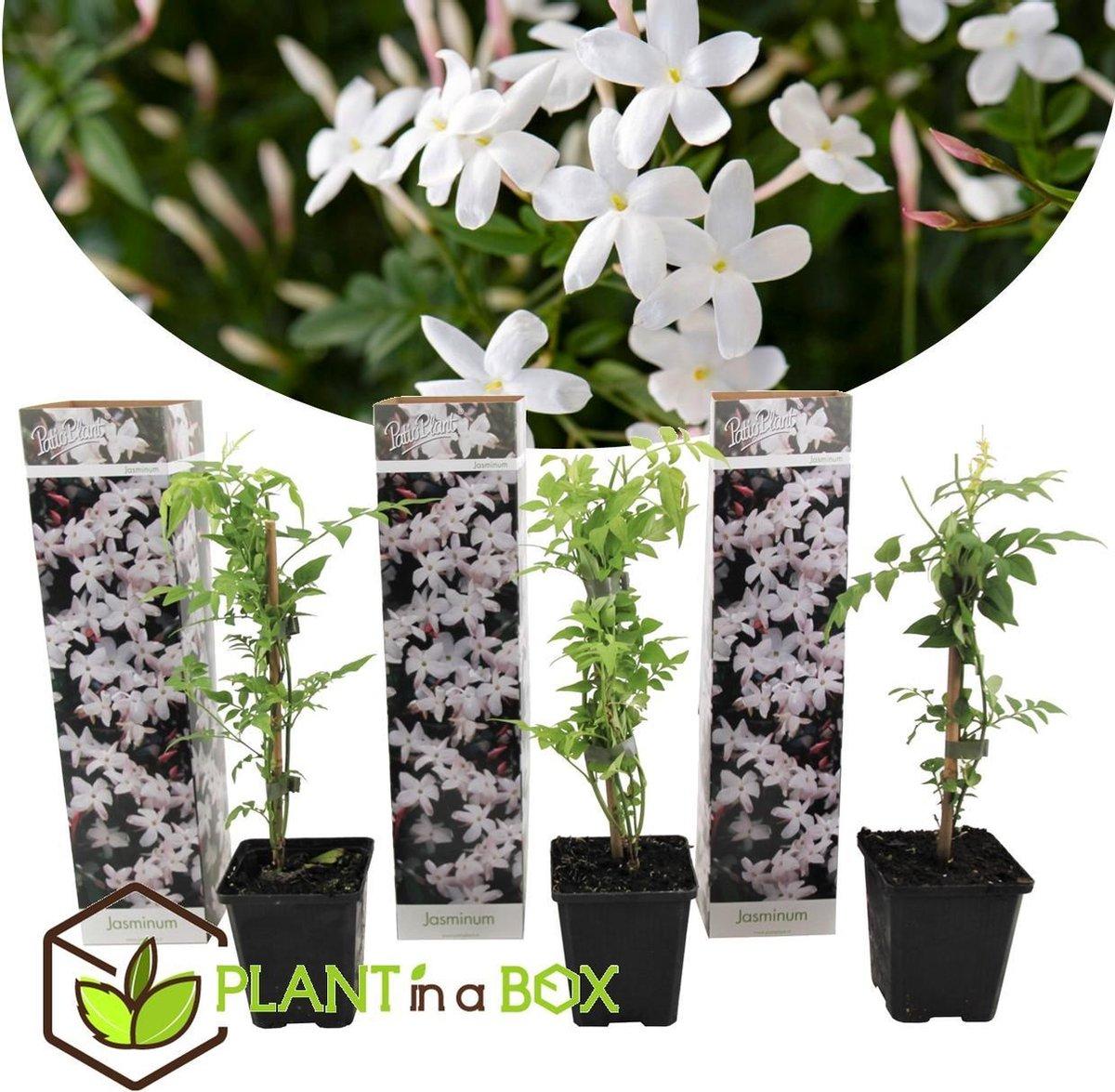 Plant in a Box - Set van 3 Jasminum Officinale   Jasmijn - Pot   9cm -Hoogte   25-40cm