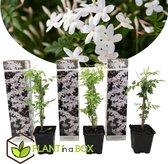 Plant in a Box - Set van 3 Jasminum Officinale – Jasmijn - Pot ⌀ 9cm -Hoogte ↕ 25-40cm
