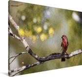 Roodkopamadine op een tak Canvas 120x80 cm - Foto print op Canvas schilderij (Wanddecoratie woonkamer / slaapkamer)