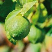Limoenboom Lime Verde
