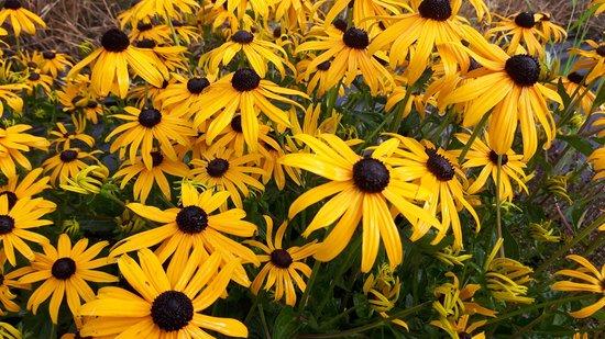 Set 12 stuks Rudbeckia fulgida 'Goldsturm' Gele zonnehoed