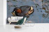 Dodaars heeft voedsel in zijn bek tijdens het zwemmen fotobehang vinyl 605x340 cm - Foto print op behang