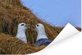 Noordse stormvogels in een nestje Poster 60x40 cm - Foto print op Poster (wanddecoratie woonkamer / slaapkamer)