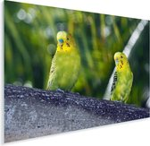 Mooie grasparkieten kijken dezelfde kant op Plexiglas 40x30 cm - klein - Foto print op Glas (Plexiglas wanddecoratie)