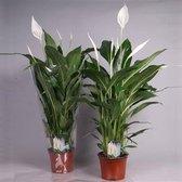 Spathiphyllum Cupido compacta (lepelplant), 75 CM hoog, 17 CM potdiameter
