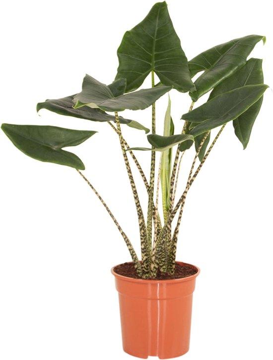 Hee Dat Is Het | Alocasia Zebrina | Alocasia Zebrina potmaat 24, hoogte 100 cm