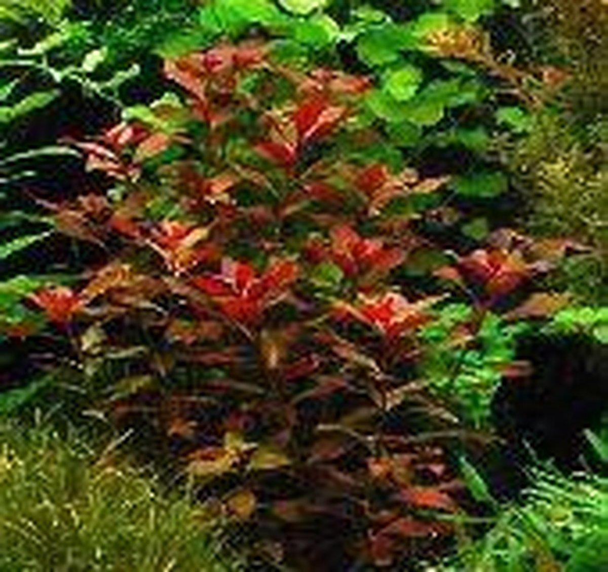 Dennerle Zuid Amerika Aquariumplanten - 10 Planten - Aquaflora