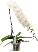 Formidablo N°15 Orchidee Cadeau