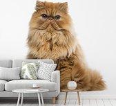 Oranje Perzische kat op een witte achtergrond fotobehang vinyl 265x240 cm - Foto print op behang