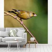Een groenling zit op een takje en geniet van de zon fotobehang vinyl breedte 360 cm x hoogte 360 cm - Foto print op behang (in 7 formaten beschikbaar)