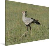Secretarisvogel loopt door het gras Canvas 60x40 cm - Foto print op Canvas schilderij (Wanddecoratie woonkamer / slaapkamer)