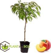 Plant in a Box - Prunus Persica Bonanza - Dwerg Perzikboom - Pot ⌀14 cm - Hoogte ↕ 60 - 70cm