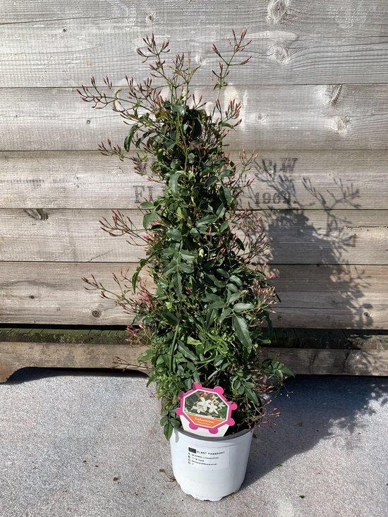 Jasmijn - Jasmijn Polyanthum - Pyrmamide - Ø 15cm pot - hoogte 60cm - vol met knop