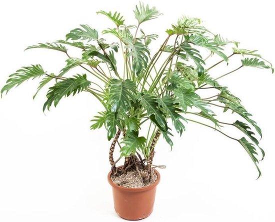 Trendy kamerplant - Philodendron Xanadu Ø32