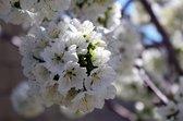 Kersen struik,Prunus Porthos ®, boom in struikvorm,kers, uniek product, voor tuin, moestuin, terras of balkon.
