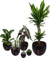 Set van 6 planten met bijpassende zwarte plantenpotten – kamerplanten voor binnen met verschillende groottes - Mapot