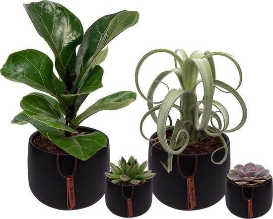 Set van 4 planten met bijpassende zwarte plantenpotten – kamerplanten voor binnen met verschillende groottes - Kodi