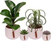 Set van 4 planten met bijpassende witte plantenpotten – kamerplanten voor binnen met verschillende groottes - Kodi