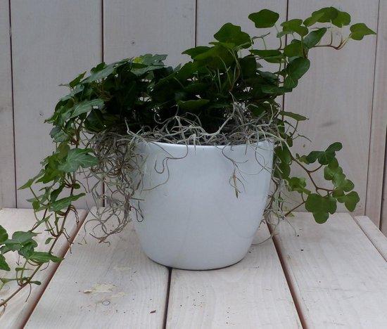 Klimop Hedrea donkergroen witte pot 25 cm