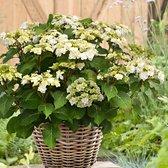 Hydrangea Macrophylla 'Doppio Bianco' - Hortensia wit - ↑ 15-20cm - Ø 12cm