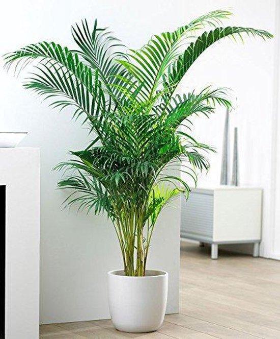 Areca Palm Dypsis Chrysalidocarpus Lutescens Goudpalm 130cm↑ Potmaat Ø24cm Kamerplant