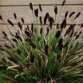 100 x Sesleria heufleriana - Blauwgras in 9x9cm pot met hoogte 5-10cm (stuksprijs €3,25)