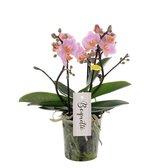 Orchidee | Multiflower Roze
